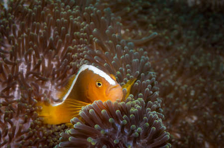 skunk: Orange anemonefish {Amphiprion sandaracinos} in a symbiotic relationship with a Merten's carpet sea anemone {Stichodactyla mertensii} Philippines. April Stock Photo