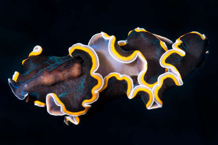 cavern: {Pseudobiceros} sp. A flatworm free swimming in a cave in Gato Island, Malapascua, Philippines. November
