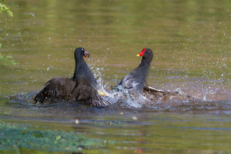 Moorhens fight during the breeding season.  Water and feathers fly.  (Gallinula chloropus). North Devon. April