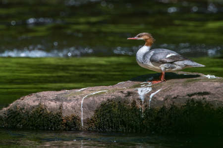 Female Goosander {Mergus merganser} standing on a rock in the river Usk in the Brecon Beacons. The glistening water provides pleasing bokeh to the background. June
