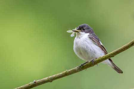 brecon beacons: This pied flycatcher {Ficedula hypoleuca} was living up to its name, catching mayflies over the Usk river in the Brecon Beacons. May