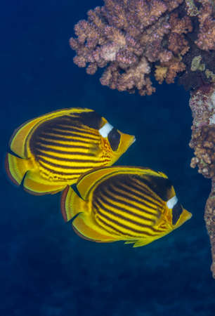 chaetodontidae: Red Sea raccoon butterflyfish (Chaetodon fasciatus) pair swimming near a coral outcrop. Red Sea, Egypt, November.
