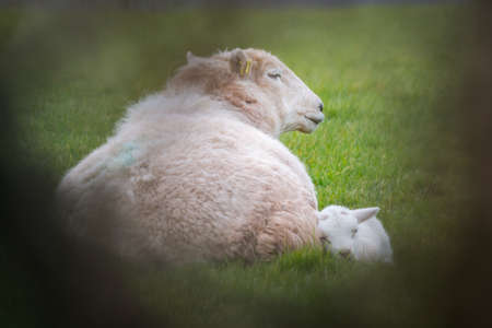 Ewe with single lamb sleeping in a field. Natural framing from blurred foreground. Wales, March