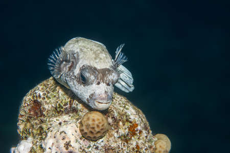 arothron: Masked puffer fish resting on a coral head at night. Red Sea, Egypt, October