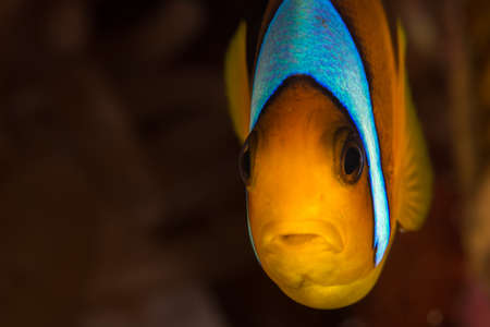 defocussed: Face-on cropped portrait of Red Sea Anemonefish (Amphiprion bicinctus) with clean defocussed copy space to the side. Red Sea, Egypt, November
