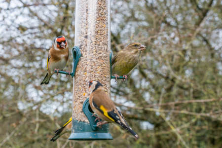 Two species of finch - golfinch (Carduelis carduelis), and greenfinch (Carduelis chloris) on a garden feeder in winter. UK, December