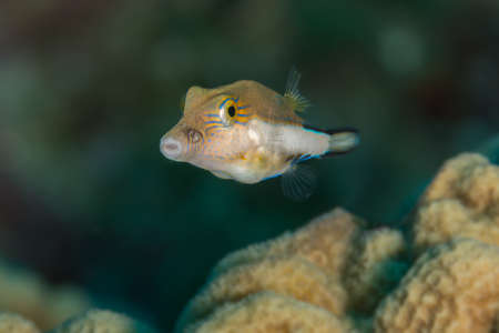 Sharpnose puffer (Canthigaster rostrata) portrait underwater in the wild. Bahamas, December Stock Photo