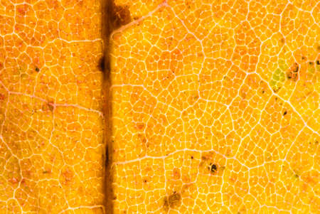 sycamore leaf: Backlit sycamore leaf showing textured pattern of veins and Autumn colours. UK, November