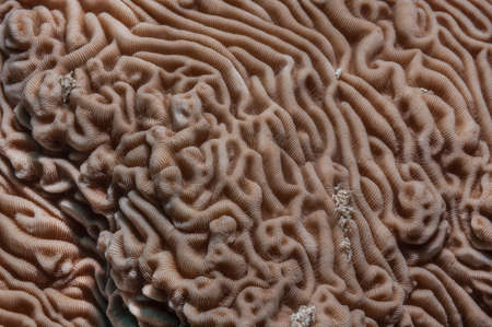 brain coral: Neat brain coral (Platygyra lamellina) surface detail. Red Sea, Egypt, October.