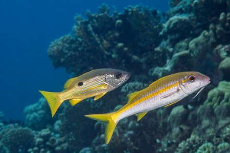 Fish mimicry between Ehrenbergs snapper (Lutjanus ehrenbergi) and Yellowfin goatfish (Mulloidichthys vanicolensis). Red Sea, Egypt. October