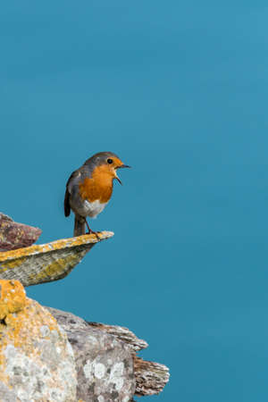 Wild European robin (Erithacus rubecula) singing, perched on lichen covered building with blue sea background. Skomer Island, Pembrokeshire, UK. September