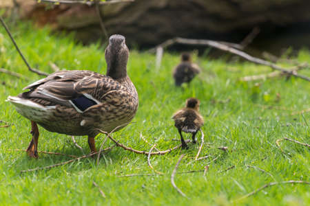 Mother duck walking away with ducklings over grass. Mallard (Anas platyrhynchos) with chicks. UK, April. Reklamní fotografie