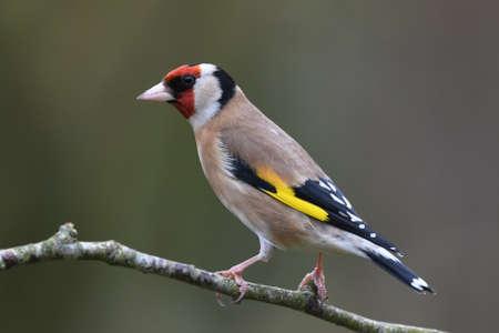 profile: Profile portrait of individual goldfinch (Carduelis carduelis) standing on a garden twig. Devon, UK, March.