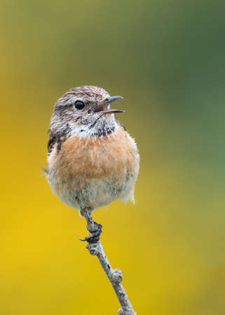 Female stonechat (Saxicola torquata), mouth open, calling to partner. Pembrokeshire, Wales, May. Banco de Imagens