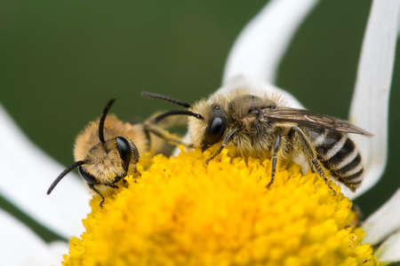 Two plasterer bees (Colletes daviesanus) feeding on oxeye daisy flower, North Devon, UK, Summer. Фото со стока