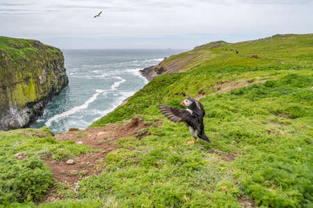 Puffin (Fratercula arctica) spreading wings, appearing to preach to congregation of seagulls on coastline. Skomer Island, Pembrokeshire, May.