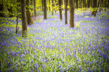 Bluebell woods springtime bloom. Carpets of flowers in Coed Cefn woodland, Brecon Beacons, Wales. April
