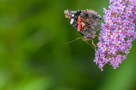 Red admiral butterfly (Vanessa atalanta) side-on, feeding on buddleia flowers. UK, July