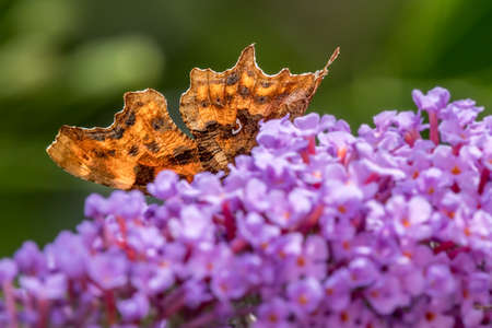 Comma butterfly (Polygonia c-album) hiding behind buddleia flowers. Wales, UK, July