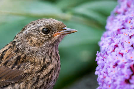 Young dunnock (Prunella modularis) portrait next to buddleia flowers. Wales, UK, July