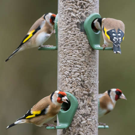 Four goldfinches (Carduelis carduelis) on sunflower seed feeder. UK, December