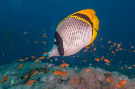Lined Butterflyfish Sudan