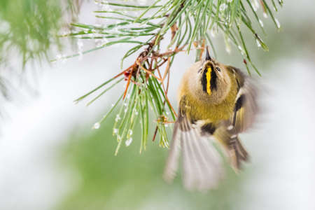 Goldcrest (Regulus regulus) hanging from pine needles with wing movement motion blur. Wales, UK. December