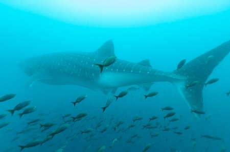 Whale shark (Rhincodon typus) swims behind shoal of fish. Galapagos, September