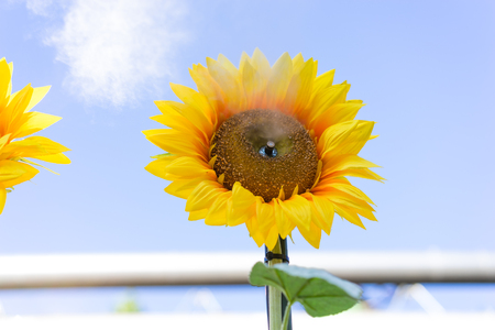 Sunflower with water splash against blue sky Stock Photo
