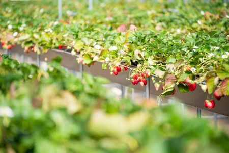 Strawberry farm in spring Standard-Bild