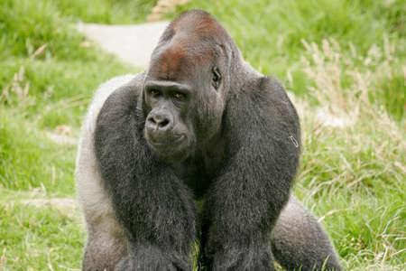 glance: Gorilla Glance