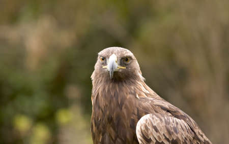 aquila reale: Golden Eagle guardare