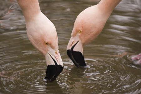 Flamingos Feed