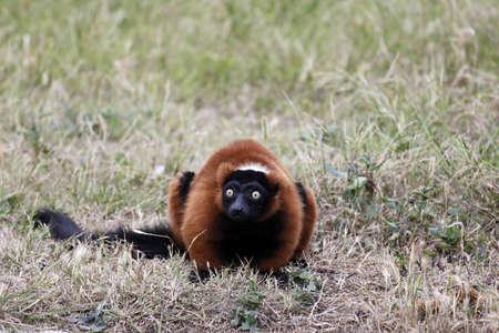 Lemur Alert