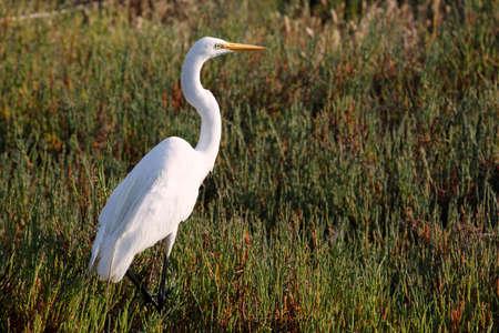 egret: Egret Grass