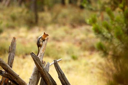 ardilla: Chipmunk Branch Foto de archivo