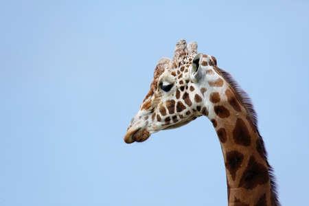 Giraffe profiel