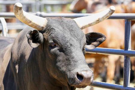 Bull close up