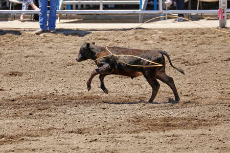Calf Caught Stock Photo
