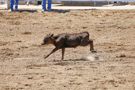 Calf Missed Rope Imagens