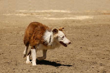Sheepdog Prowl Stockfoto