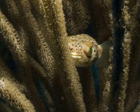 puffer: Puffer Fish Stock Photo