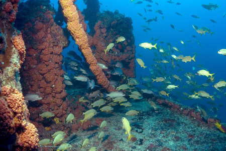 wreckage: Fish onthe wreck of the Duane