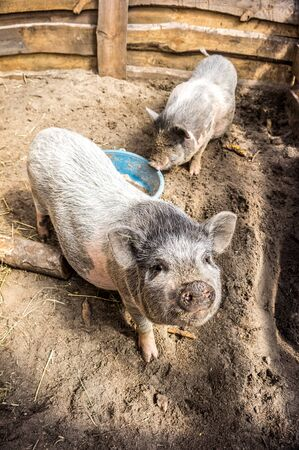 potbellied: Vietnamese Pigs. Marble breed. Stock Photo