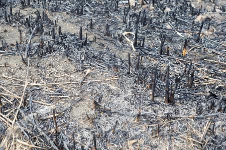 森林の火災後の灰