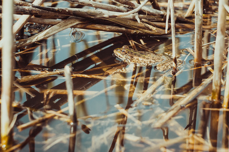 Frog in the reeds