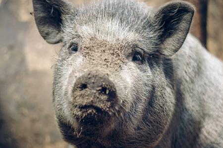 Large Vietnamese Pig