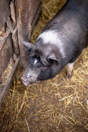 Black Vietnamese pigs on the farm. Stock Photo