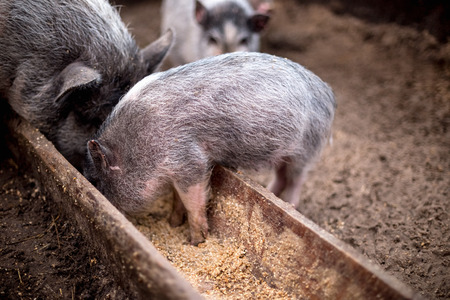 Small pigs eat from a wooden trough.