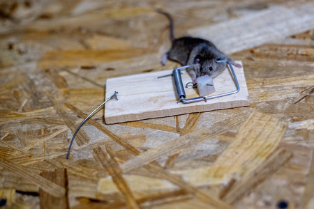Dead mouse in a mousetrap on the floor Stock Photo